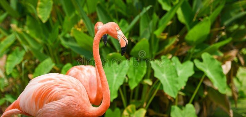 Härlig fågelflamingoapelsin på bakgrund för tropisk växt för naturgräsplan/karibisk flamingo royaltyfri bild
