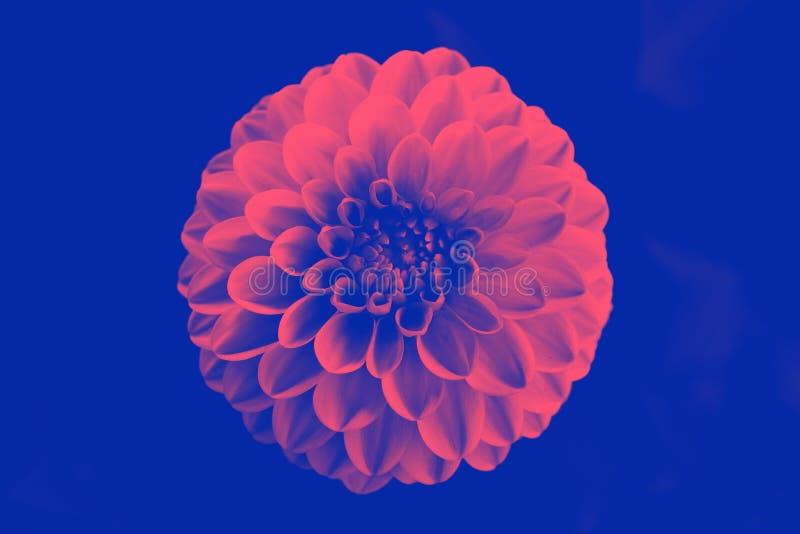 Härlig för hrysanthemum för duotone Ñ blomma Närbild Makro Bo korall - färg av året 2019 arkivfoto