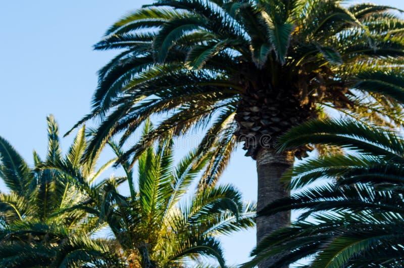 Härlig fördelande palmträd, exotiskt växtsymbol av ferier, arkivfoto