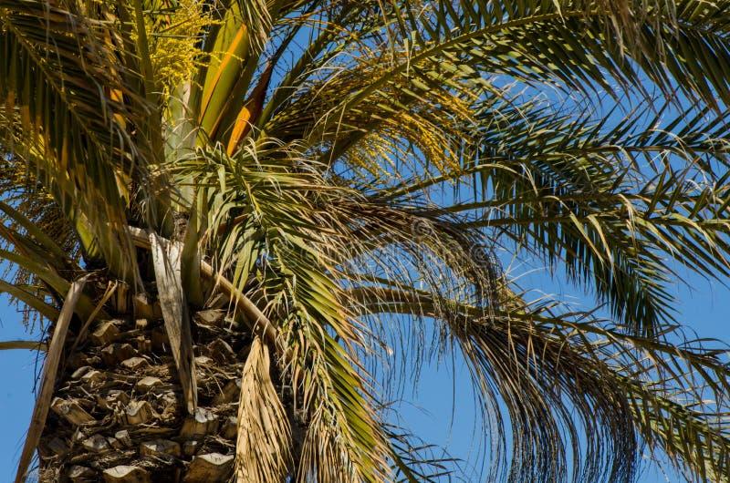 Härlig fördelande palmträd, exotiskt växtsymbol av ferier, royaltyfri fotografi