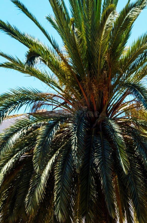Härlig fördelande palmträd, exotiskt växtsymbol av ferier, royaltyfria bilder