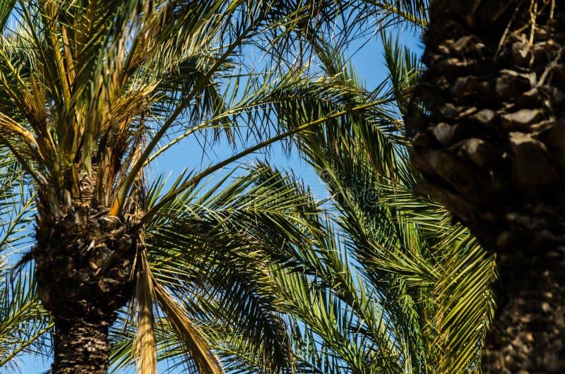 Härlig fördelande palmträd, exotiskt växtsymbol av ferier, arkivbild