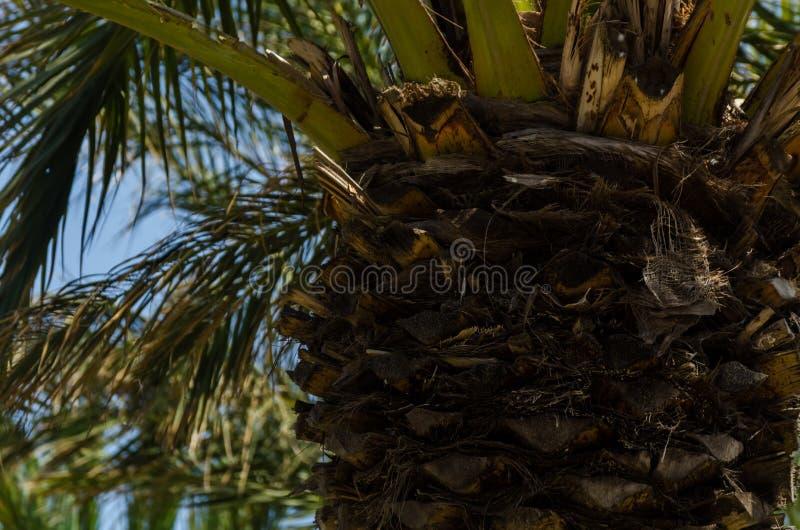Härlig fördelande palmträd, exotiskt växtsymbol av ferier, fotografering för bildbyråer