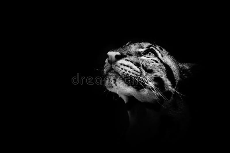 Härlig fördunklad leopard på den trevliga svarta bakgrunden royaltyfri fotografi