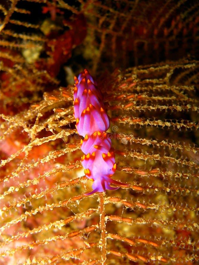 Härlig fijiansk nudibranch arkivfoto