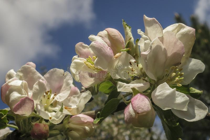 Härlig filial av att blomstra Apple-trädet mot den blåa vårhimlen med vita moln arkivfoto