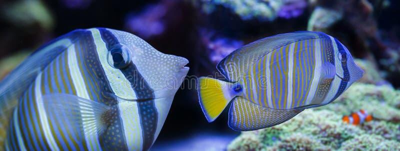 härlig fisk för akvarium fotografering för bildbyråer