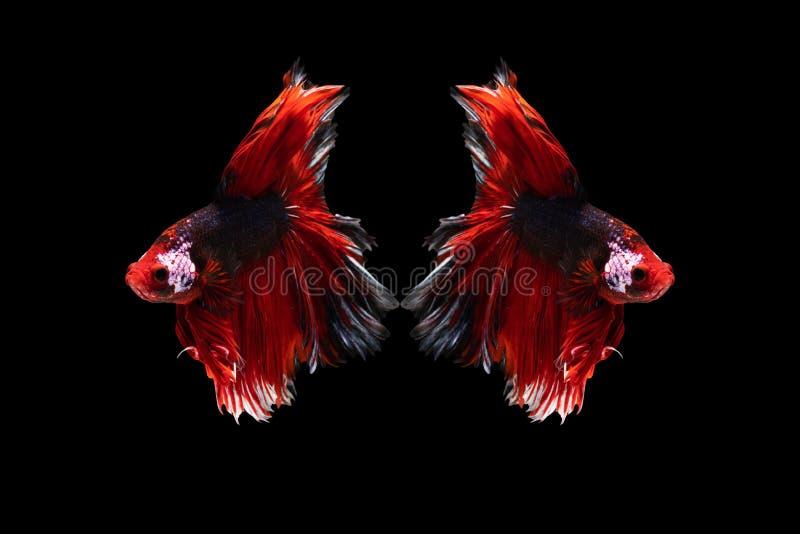 Härlig fisk för Halfmoonbetta fånga den härliga fisken för den rörande ögonblicksbeautifHalfmoonbettaen fånga det härliga rörande royaltyfri foto