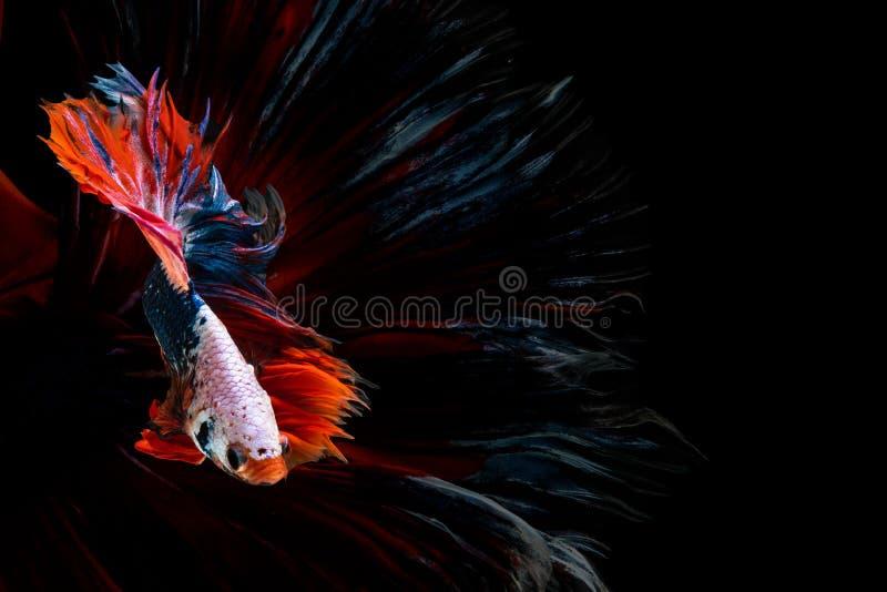 Härlig fisk för Halfmoonbetta Fånga det rörande ögonblicket som är härligt av siam bettafisk i Thailand på svart bakgrund arkivbild