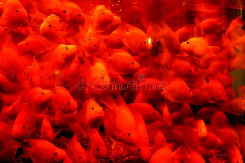 härlig fiskred royaltyfri fotografi