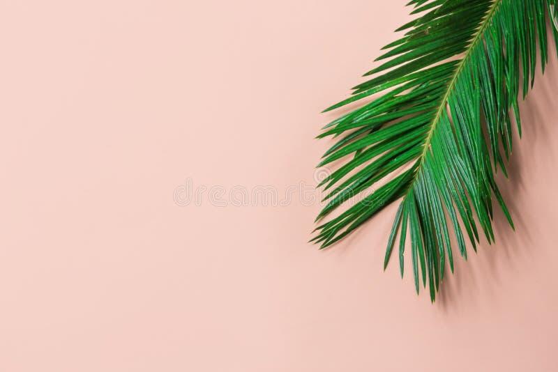 Härlig fjäderlik grön palmblad på ljust - rosa väggbakgrund Tropiskt id?rikt begrepp f?r sommar stads- djungel fotografering för bildbyråer