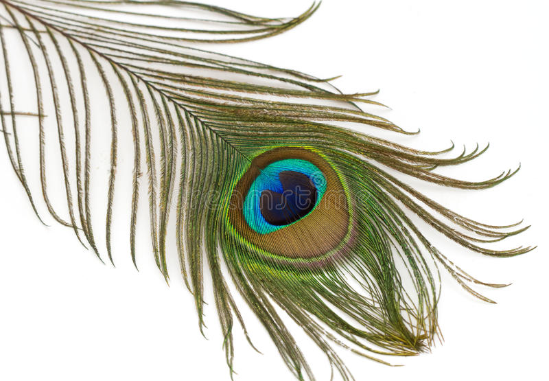 härlig fjäderpåfågel arkivbild