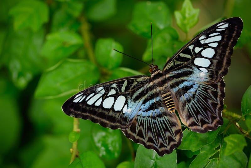 Härlig fjäril, Clipper, Parthenos sylvia Fjäril som vilar på den gröna filialen, kryp i naturlivsmiljön Fjärilen sitter royaltyfri fotografi