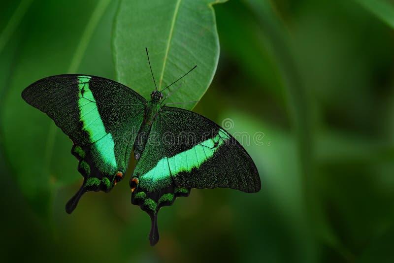 Härlig fjäril Grön swallowtailfjäril, Papilio palinurus Kryp i naturlivsmiljön Fjärilssammanträde i gräsplanen royaltyfri fotografi