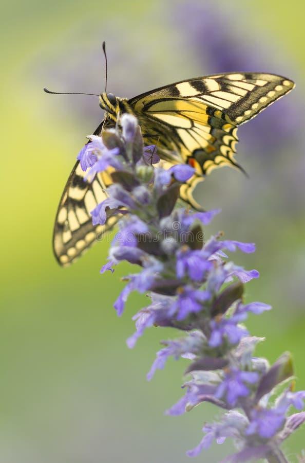 Härlig fjäril på blomman med mjuk grön bakgrund Papilio Machaon fjäril i lös natur fotografering för bildbyråer