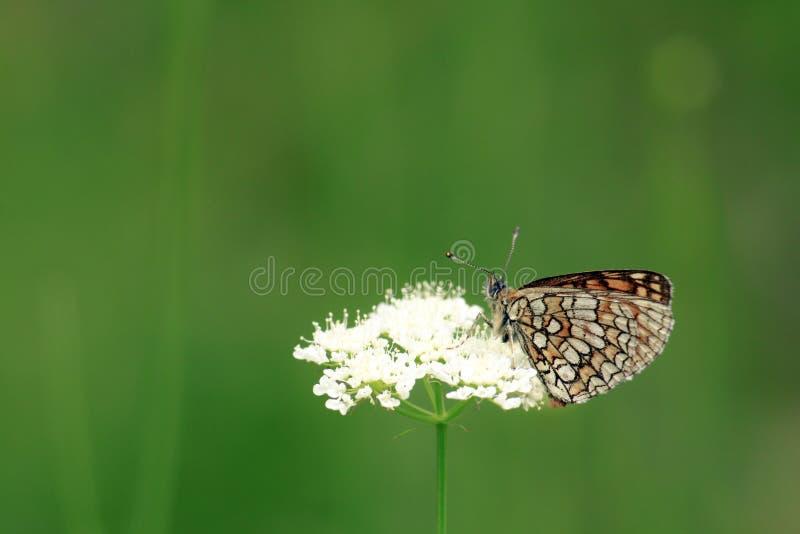 Härlig fjäril på den vita blomman arkivfoto