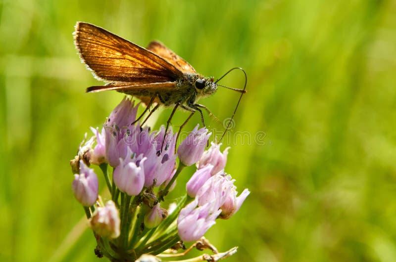 Härlig fjäril på en blomma som dricker nektar arkivbilder