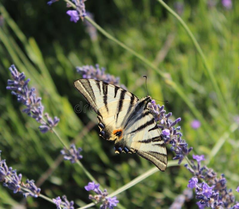 Härlig fjäril på en lavendel arkivfoto