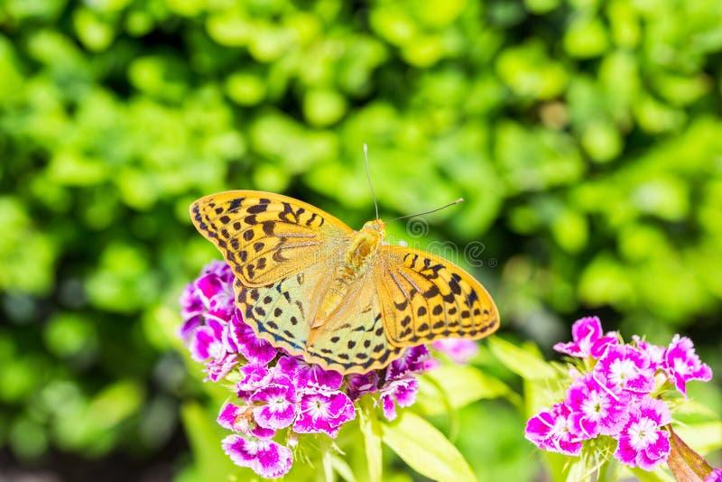 Härlig fjäril på en nejlika & en x28; Dianthusbarbatus& x29; blomma i en trädgård royaltyfria bilder
