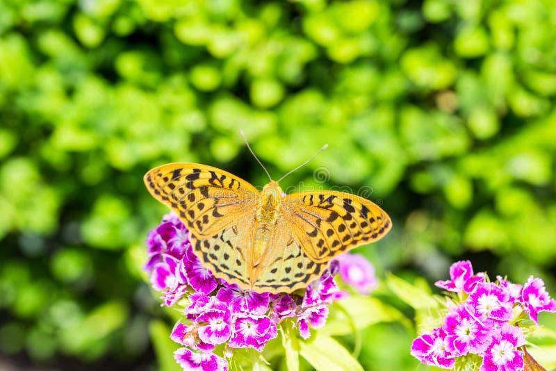 Härlig fjäril på en nejlika & en x28; Dianthusbarbatus& x29; blomma i en trädgård royaltyfri foto