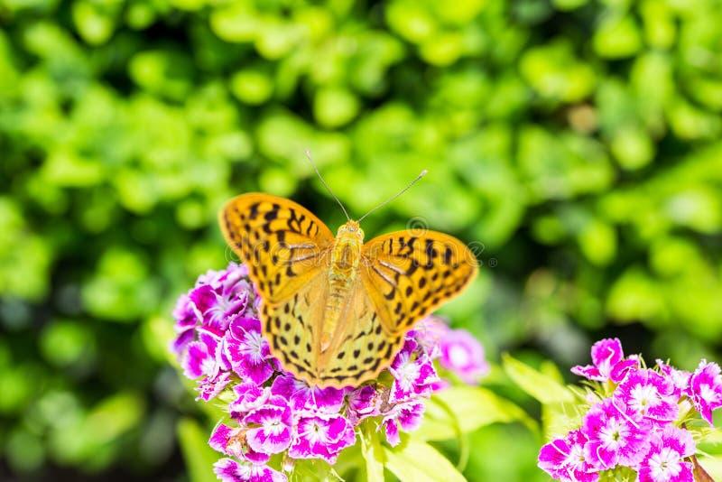 Härlig fjäril på en nejlika & en x28; Dianthusbarbatus& x29; blomma i en trädgård royaltyfria foton