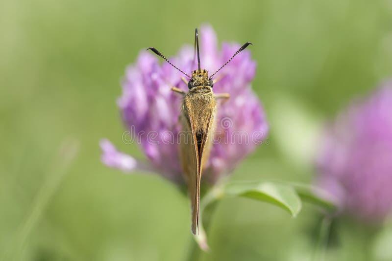 Härlig fjäril på en purpurfärgad blomma fotografering för bildbyråer