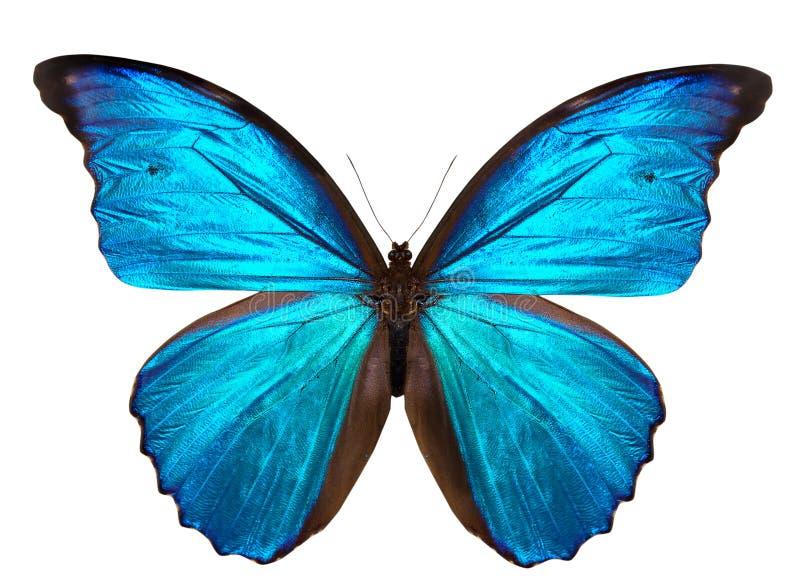 Härlig fjäril som isoleras på vit fotografering för bildbyråer