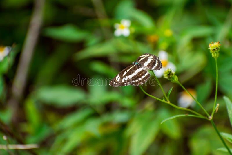Härlig fjäril som samlar nektar på den vita blomman royaltyfria bilder