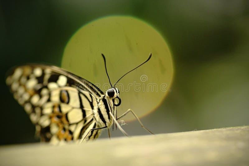 Härlig fjäril som sitter på blomman mot grön bakgrund i en sommarträdgård, härligt kryp i naturlivsmiljön, djurliv fotografering för bildbyråer