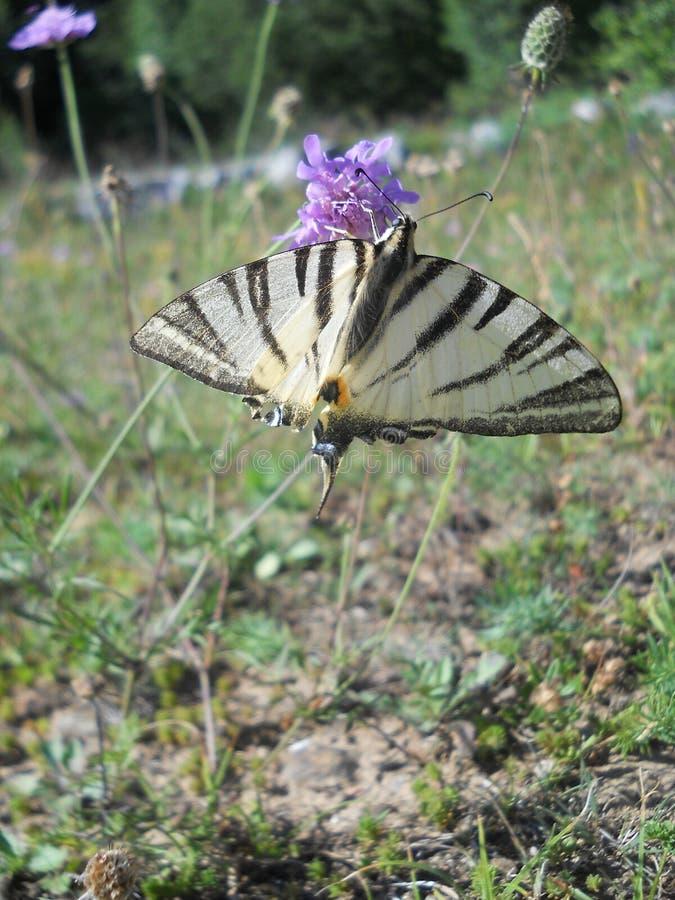 Härlig fjärils`-Iphiclides podalirius L `, fotografering för bildbyråer