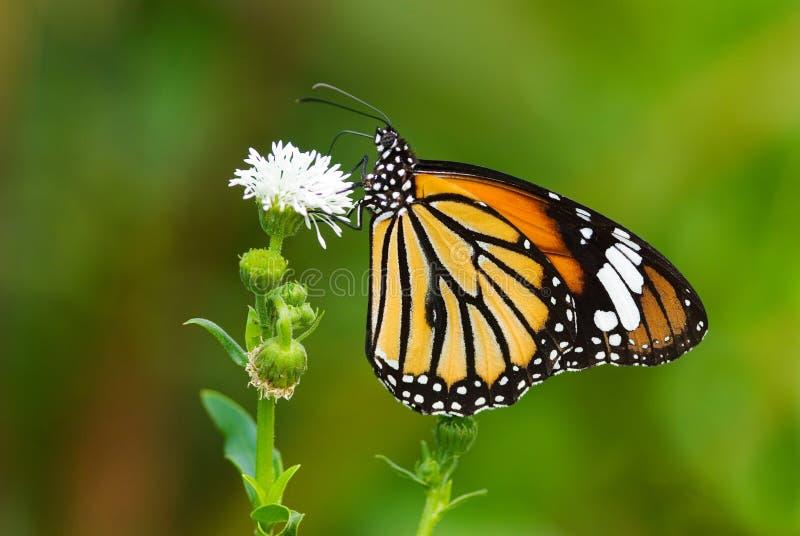 härlig fjärilsserie fotografering för bildbyråer