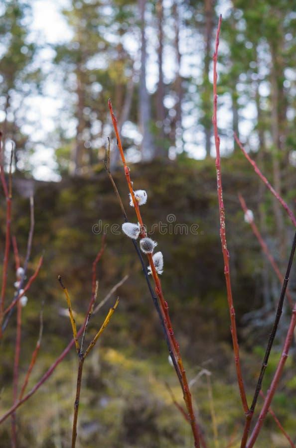 Härlig fluffig kvist av pilen som blomstras i tidig vår royaltyfria bilder