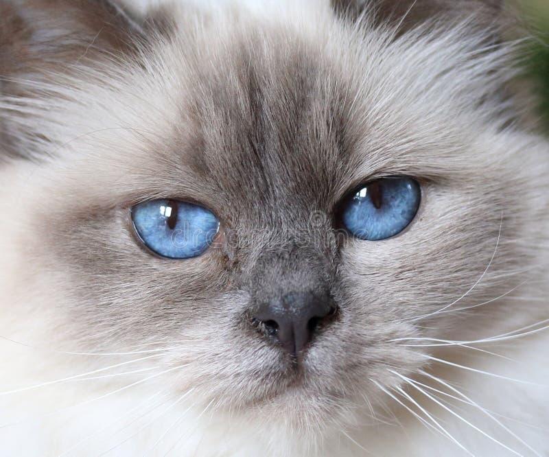 Härlig fluffig vit behandla som ett barn den blått synade katten royaltyfri bild