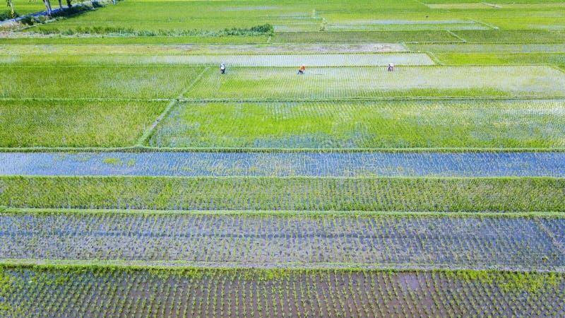 Härlig flyg- sikt av risfältlandskap arkivfoton