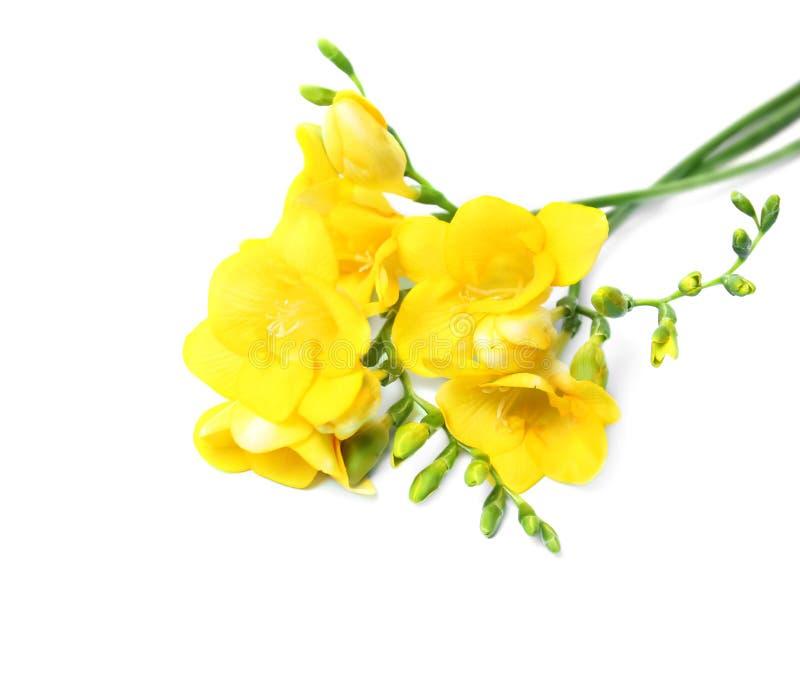 Härlig freesia blommar på bakgrund fotografering för bildbyråer