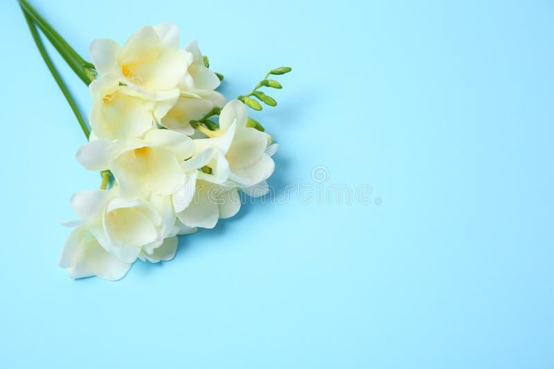 Härlig freesia blommar på färgbakgrund royaltyfri fotografi
