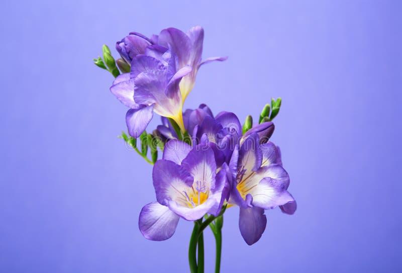 Härlig freesia blommar på färgbakgrund royaltyfri bild