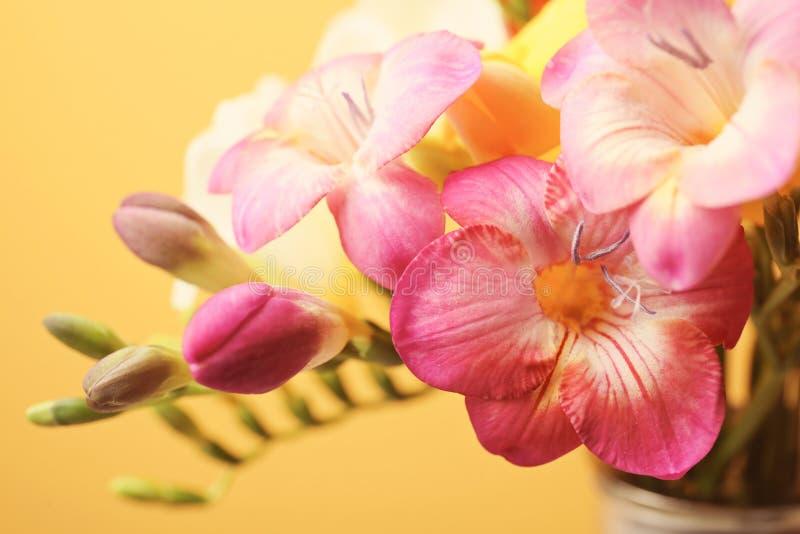 Härlig freesia blommar på färgbakgrund royaltyfri foto