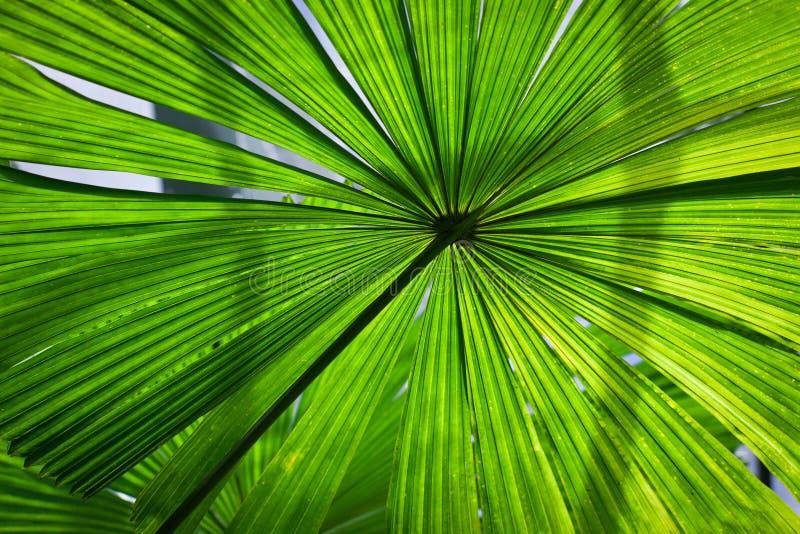 härlig frodig ventilatorormbunksbladgreen gömma i handflatan arkivfoton