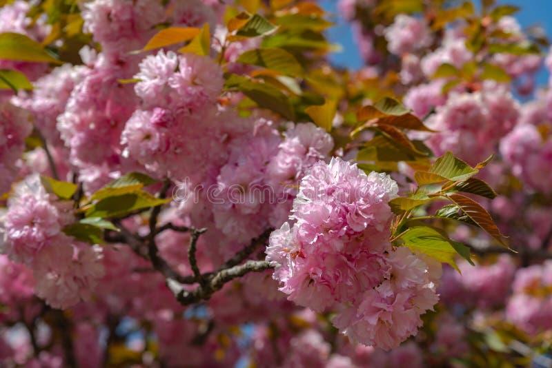 Härlig full blom av purpurfärgade rosa wisteriablomningträd och dubbla blommor för körsbärsröda blomningar i solig dag fö arkivbild