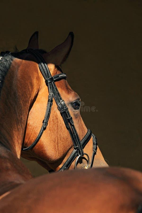 Härlig fullblods- dressyrhäststående i mörkt stall royaltyfri bild