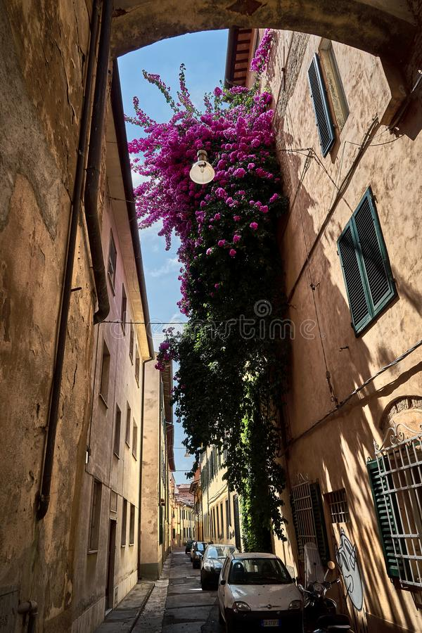Härlig gammal gata i Florence med enorma blommor på väggen fotografering för bildbyråer