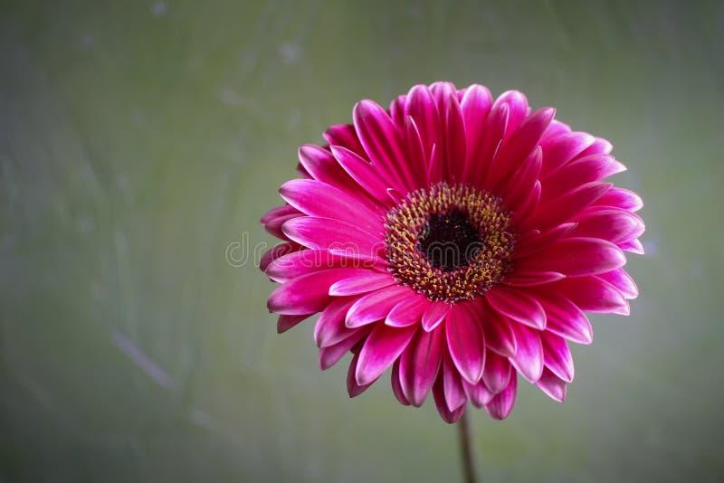 Härlig Gerberablomma och blomning arkivfoto