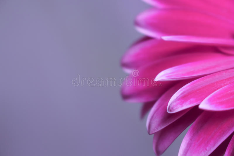 Härlig Gerberablomma och blomningviolet arkivbilder