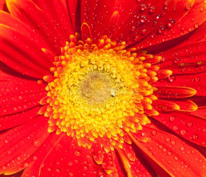 Härlig gerberanärbild Bakgrund av en blomma Fotovägg-legitimationshandlingar royaltyfria foton