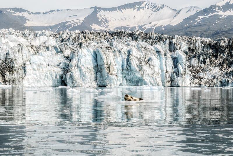 Härlig glaciärlagunbakgrund och gullig skyddsremsa på Island arkivfoton