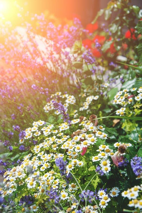 Härlig gräsmatta med olika färger och gräsmatta på en solig dag landskap Sammansättningen av små blommor royaltyfria foton