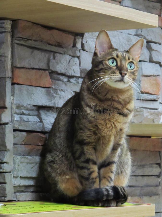 Härlig gräsplan synade den bruna strimmig kattkatten som ner sitter arkivfoto