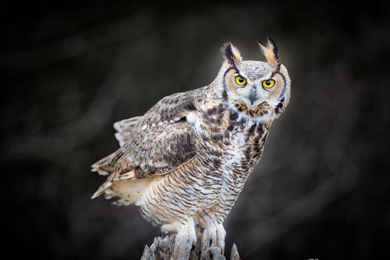 Härlig grå horned uggla arkivfoto