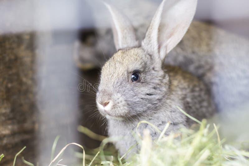 Härlig grå kanin i en bur på en hem- lantgård royaltyfri fotografi